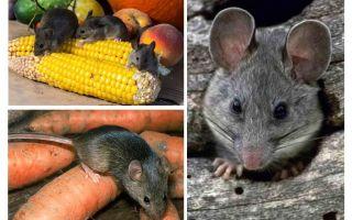 Ülkede ve sitede farelerle nasıl baş edilir