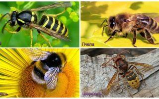 Eşek arısı, arı, yaban arısı, eşek arısı arasındaki fark nedir