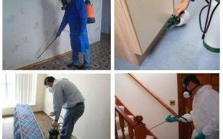 Apartmanda profesyonel damızlık tahtakuruları
