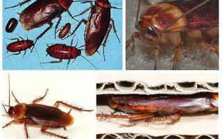 Afrika hamamböceği (Amerikan)