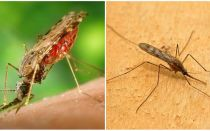 Sıtma sivrisinekleri neye benziyor ve insanlar için ne kadar tehlikeli?