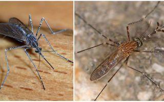 Sivrisinek türlerinin tanımı ve fotoğrafları