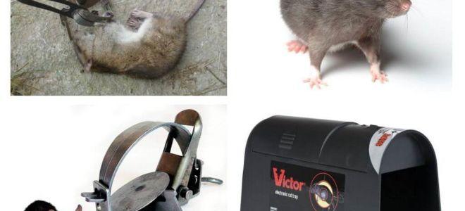 Sıçanlar için tuzaklar