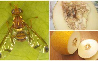 Bir kavun sinekinin tanımı ve onunla baş etme yöntemleri