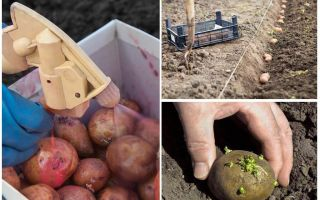 Dikim işleminden önce Patates Patates Böceği ve Wireworm