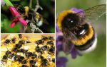Dünya yaban arısı tanımı ve fotoğrafları