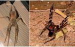 Brezilyalı göçebe örümcek (koşucu, göçebe, asker)