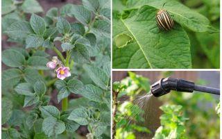 Çiçeklenme sırasında Colorado böceklerinden patates işlemek mümkün mü