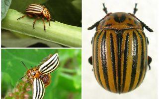 Colorado böceği nasıl görünüyor? Fotoğraf ve yaşam tarzı