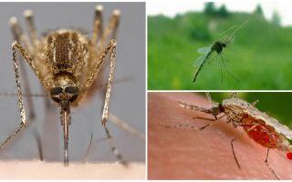 Sivrisinekler nasıl görür ve onları bir kişiye çeker