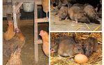 Tavuk evinde sıçanlarla nasıl baş edilir