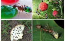 Doğada ne karıncalar yer