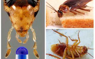 Ev Hamamböceğinin Yaşam Beklentisi
