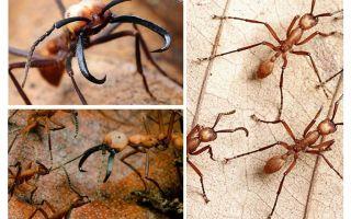 Dünyanın en tehlikeli karıncaları