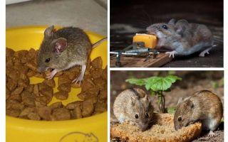 Bir fare kapanı koymak için ne yem