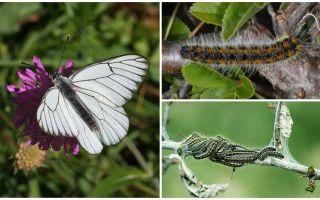 Tırtıl ve kelebek Hawthorn'un tanımı ve fotoğrafı nasıl savaşılır