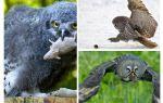Bir baykuş yaz boyunca yaklaşık 1000 alan fare öldürür
