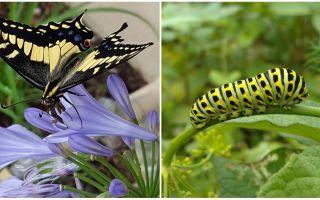 Bir tırtıl kelebek içine çevirme