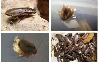 Mermer hamamböceği: Ne beslenmeli ve nasıl üretilir