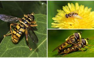 Wasp bir yaban arısı gibi uçar
