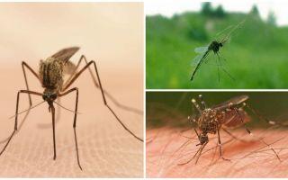 Sivrisinekler hakkında ilginç gerçekler