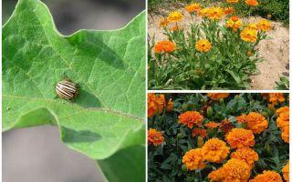 Colorado Patates Böceği Patlıcan nasıl korunur ve korunur
