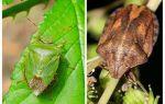 Homebug veya bedbugs kokusu olsun