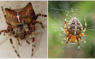 Örümcek jog: fotoğraf ve bir ısırık sonra etkileri