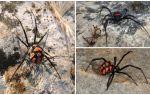 Açıklaması ve Kazakistan örümcekler fotoğrafları