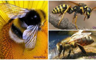 Yaban arısı, arı ve yaban arısı farklılıkları