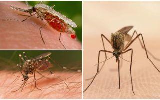 Bütün kanı kaç sivrisinek içmeniz gerekiyor?