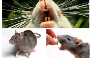 Sıçan gıcırtı