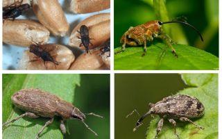 Böceği böceği ve larvaları