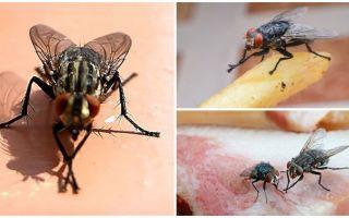 Neden sinekler pençelerini ovuyor?