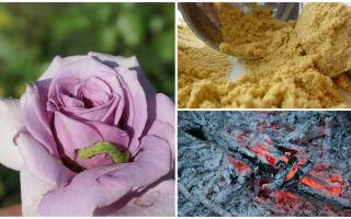 Tırtıllar ve yaprak bitlerinden güller nasıl püskürtülür?