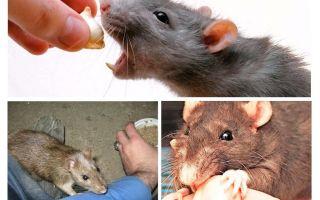 Bir sıçan bit ise ne yapmalı