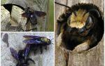 Ahşap arılar bir ahşap evden nasıl kaldırılır