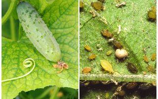 Seralarda ve açık alanda salatalık üzerinde yaprak bitleri ile nasıl ve nasıl başa çıkılacağı