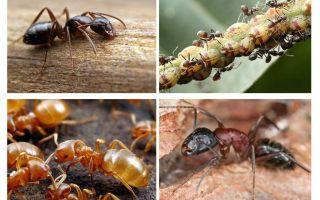 Bahçe karıncaları zarar ve yarar