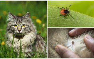 Bir kedi ya da kedi bir kene nasıl yapılır ve nasıl tedavi edilir