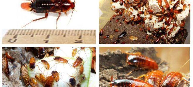Türkmen hamamböceği yetiştiriciliği