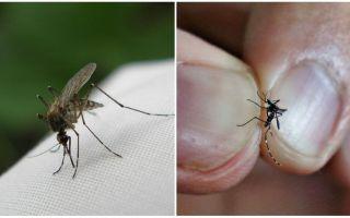 Nasıl doğurulur ve kaç tane sivrisinek yaşar?