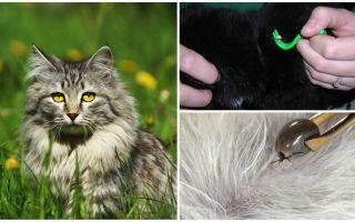 Bir kedi ya da kedi bir kene kaldırmak nasıl