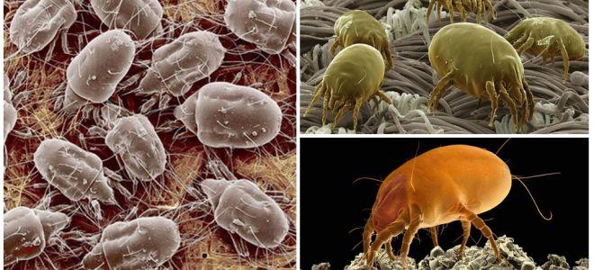 Toz akarlarının tanımı ve fotoğrafları