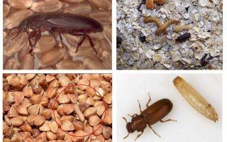 Tahıl, un, makarnada kara sinekler ve bunlardan nasıl kurtulacağı