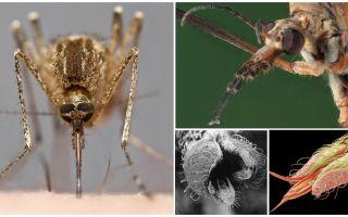 Sivrisinek dişleri mi?