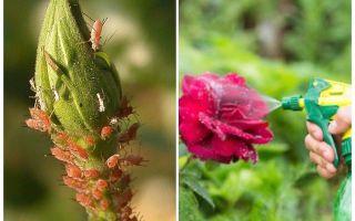 En iyi yaprak biti ilaçlarının gözden geçirilmesi