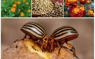Patates üzerinde Colorado Patates böceği için halk ilaçları