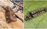 Kelebekler ve tırtılların tanımı ve fotoğrafı nasıl dövüşecek?
