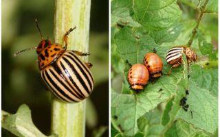 Rusya'da Colorado Patates Böceği nasıl ve ne zaman ortaya çıktı?